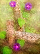 Morning glories on rustic fence