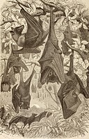 Flying foxes also known as Fruit Bats  From La Vida de los Animales published Spain circa 1885