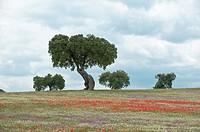 Wildflowers in field, Badajoz province, Extremadura, Spain