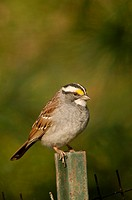 A whitethroated sparrow, zonotrichia albicollis, catches sunlight in early spring