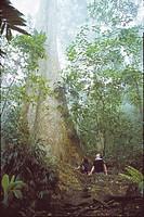 Gyranthera caribensis Pittier tree, Henri Pittier national Park, Venezuela