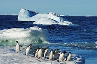Ad&#233;lie Penguins Pygoscelis adeliae on ice flow  Paulet Island, Antarctic Peninsula