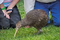 Sparky a North Island Brown Kiwi, Apteryx mantelli, with only one leg after the other had been amputated after it was caught in a gin trap