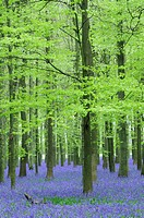 England, Hertfordshire, Ashridge Estate. Bluebells at Dockey Wood on The Ashridge Estate