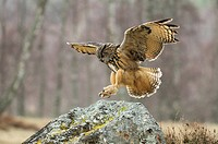 Scotland, Highland, Dinnet. A European Eagle Owl Bubo Bubo about to land on a rock.