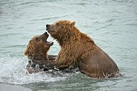 Grizzly bear (Ursus arctos horribilis), McNeil River Sanctuary, Alaska, USA