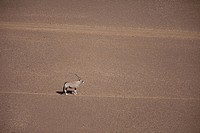 Aerial view of Gemsbok Oryx gazella standing in desert, Namibia