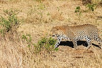 A male leopard walks through the bush in the Masai Mara