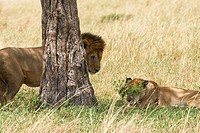 A lion approaches the female lioness to begin mating