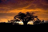Silhouetted African Baobab Adansonia digitata at sunset, Mapungubwe National Park, Limpopo Province, South Africa