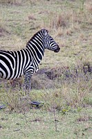 A zebra walks along the plains of the Masai Mara in Kenya
