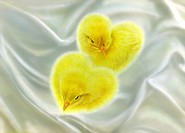 Chicks forming heart shape on white silk