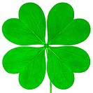 Four leaf clover against white background