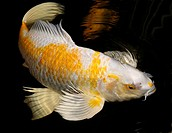White and Yellow Yamabuki Hariwake Butterfly Koi fish swimming at night (thumbnail)