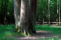 THE ARMCHAIR OAK, SENONCHES FOREST, EURE_ET_LOIR 28, FRANCE