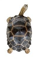 Aldabra Tortoise, Turtle