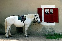 PERCHERON HORSE ATTACHED TO A WINDOW´S SHUTTER, LA CHAPELLE_SOUEF, ORNE 61, NORMANDY, FRANCE