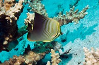 Eastern triangle butterflyfish Chaetodon baronessa  Indonesia