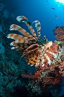 Lionfish Pterois volitans  Egypt, Red Sea