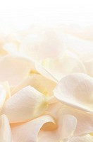 Abstract background of a fresh beige rose petals