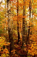 Golden fall forest with hiking trail