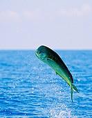 mahi mahi dolphin fish or dorado bull jumping, Coryphaena hippurus, Kona, Big Island, Pacific Ocean, Hawaii, USA
