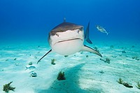 Tiger Shark, Galeocerdo cuvier, West End, Grand Bahamas, Caribbean Sea, Bahamas
