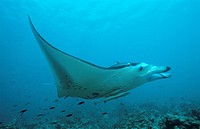 Manta ray, Manta birostris Echeneis naucrates, Indian Ocean, Maldives