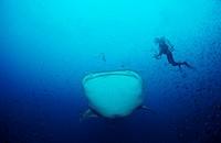 whale shark with scuba diver, Rhincodon typus, Galapagos Pacific Ocean, Ecuador