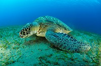 Green Sea Turtle, Chelonia mydas, Abu Dabab, Marsa Alam, Red Sea, Egypt