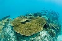 Corals in Bikini Lagoon, Bikini Atoll, Micronesia, Pacific Ocean, Marshall Islands