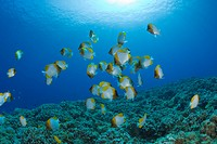Shoal of Pyramid Butterflyfishes, Hemitaurichthys polyepis, Molokini Crater, Maui, Hawaii, USA
