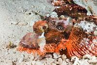 Tassled Scorpionfish, Scorpaenopsis oxycephalus, Safaga, Red Sea, Egypt
