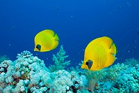 Pair of Masked Butterflyfish, Chaetodon semilarvatus, St. Johns Reef, Red Sea, Egypt