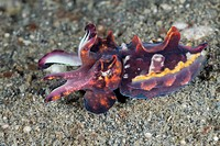 Flamboyant Cuttlefish, Metasepia pfefferi, Lembeh Strait, North Sulawesi, Indonesia