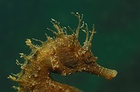 Long_snouted Seahorse, Hippocampus guttulatus, Piran, Adriatic Sea, Slovenia