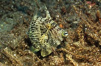 Filefish, Pseudomomacanthus, Kas, Mittelmeer, Turkey