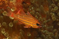 Yellow Cardinalfish, Apogon cyanosoma, Alor, Lesser Sunda Islands, Indo_Pacific, Indonesia