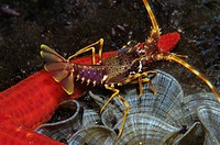European Lobster feeding Starfish, Palinurus elephas, Susac Island, Adriatic Sea, Croatia