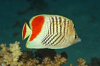 Endemic Red Sea Chevron Butterflyfish, Chaetodon paucifasciatus, Marsa Alam, Red Sea, Egypt