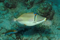 Picassofish, Rhinecanthus assai, Marsa Alam, Red Sea, Egypt