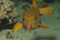 Yellow Boxfish, Ostracion cubicus, Marsa Alam, Red Sea, Egypt
