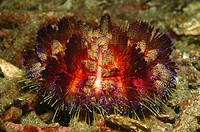 Fire Sea Urchin, Alor, Lesser Sunda Islands, Indo_Pacific, Indonesia
