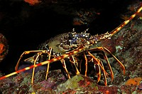 European Lobster, Palinurus elephas, Susac Island, Adriatic Sea, Croatia