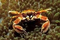 Porcelain Crab in Carpet Anemone, Neopetrolisthes maculatus, Puerto Galera, Mindoro Island, Philippines