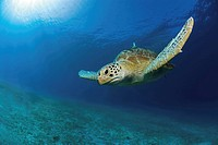 Green Sea turtle, Chelonia mydas, Pacific, Philippines