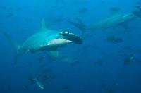 Scalloped Hammerhead Shark, Sphyrna lewini, Galapagos, Ecuador