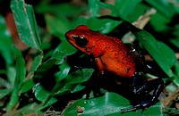 tiny strawberry poison frog, Dendrobates pumilio, Cocos Island South america Latin america, Costa Rica