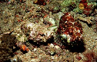 A pair of False stonefish, Scorpaenopsis diabolus, Indian Ocean Komodo National Park, Indonesia