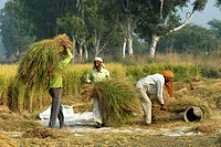 India, Punjab, basmati rice cultivation
